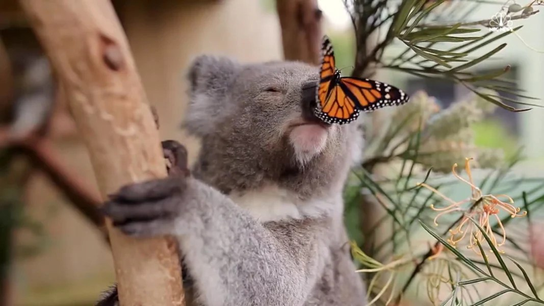Image result for koala butterfly