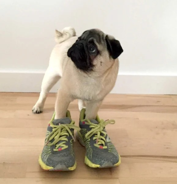 A cute pug with its front paws in a pair of trainers.
