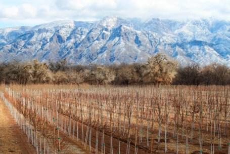 Fileiras de árvores se estendendo por uma fazenda em Corrales, Novo México, enquanto a neve cobre as montanhas Sandia ao fundo. Grande parte do oeste está atolado na seca, com Novo México, Arizona, Nevada e Utah sendo os mais atingidos.