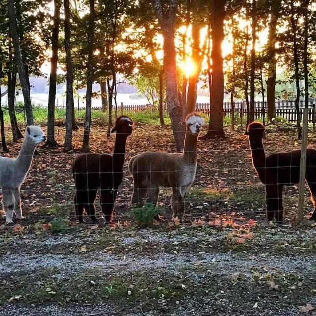 Fyra killar i solnedgng  alpackor fardhem solnedgng sunset