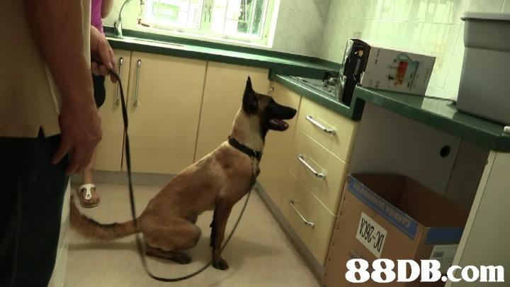 【瑪蓮萊犬】2020最新92個有關瑪蓮萊犬之價格及商戶聯絡資訊 - HK 88DB.com