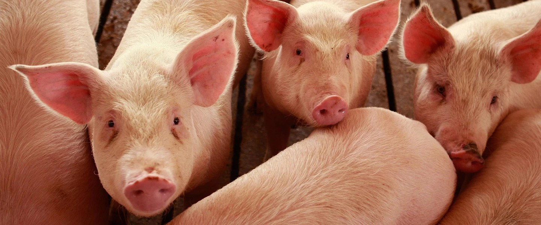 Image: Hogs are raised on the farm on April 28, 2009 in Elma, Iowa