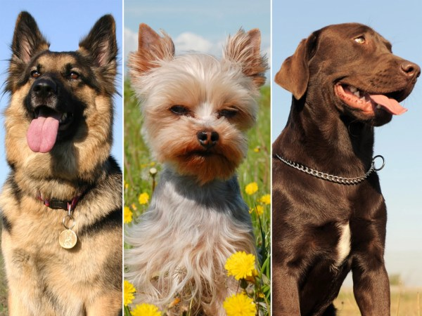 Which breed is America's top dog of 2012? - TODAY.com