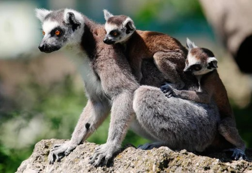 Image: A Lemur with its 7-week-old cubs clinging to its back