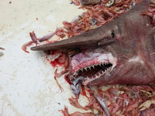 A rare Goblin Shark catch from a fisherman on April 19th in Key West, Fla.