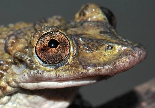 Image: Corythomantis greeningi, a venomous frog
