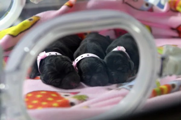 Image: Cloned puppies in an incubator at a Boyalife Group facility in Tianjin, China