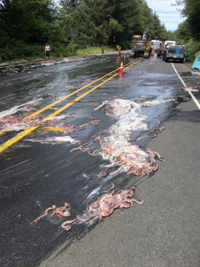 Image: Slime eels, otherwise known as Pacific hagfish, cover Highway 101 after a flatbed truck carrying them in tanks overturned near Depoe Bay