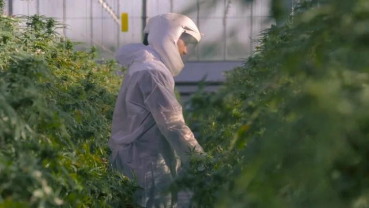 Image: Hemp being grown for seizure medicine.
