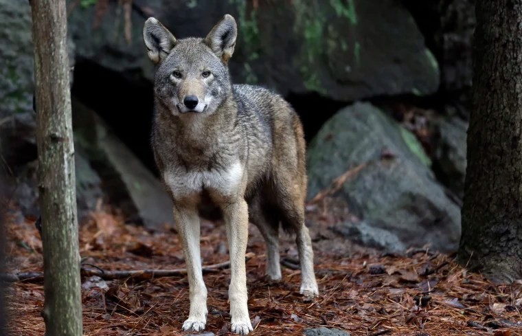 N.C. Gov. Cooper seeks help for critically endangered red wolf — just a dozen or so in the wild