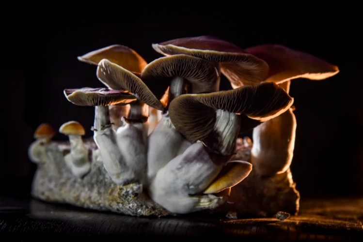 A Push to Legalize Psilocybin Mushrooms