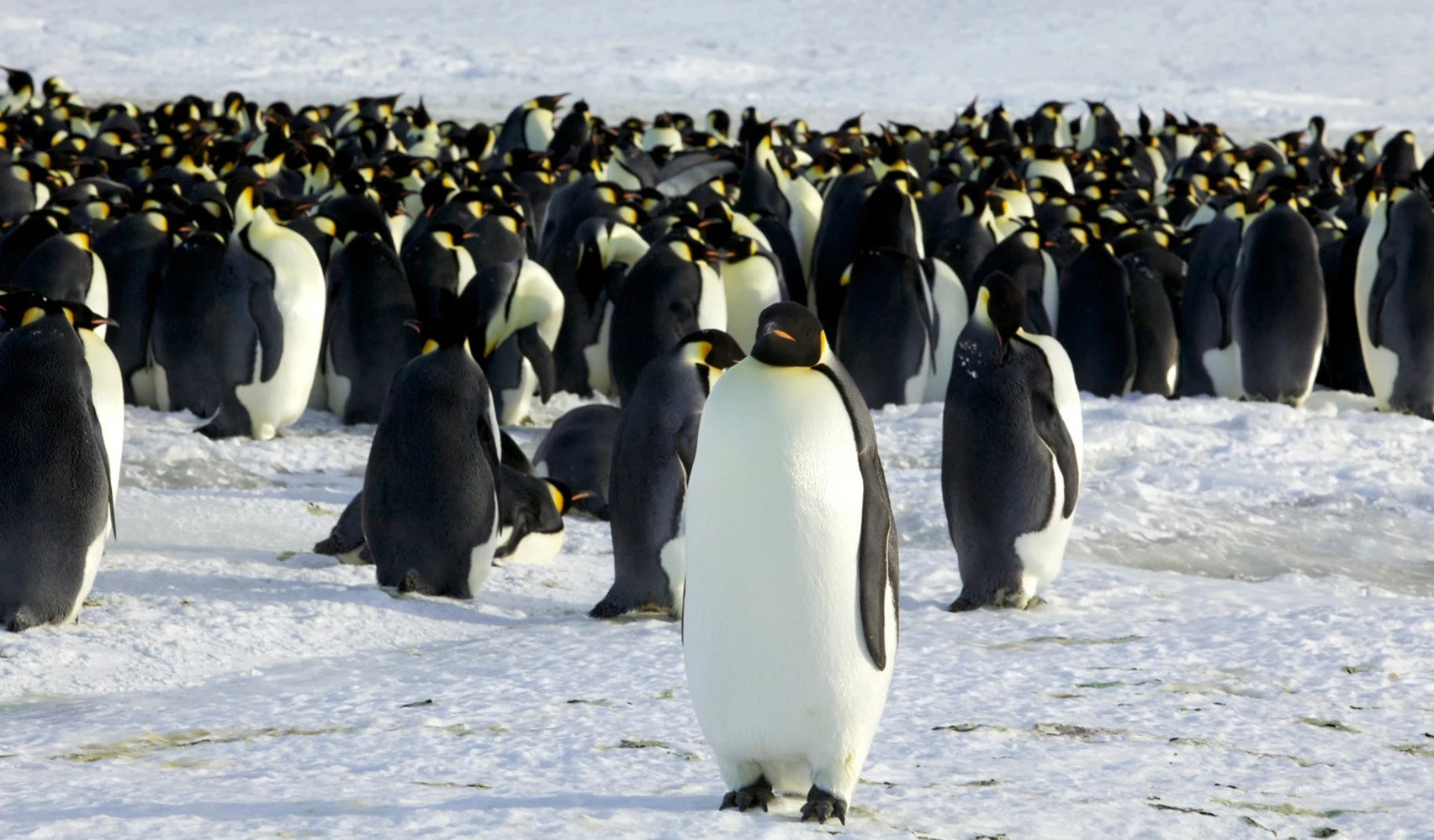 Emperor Penguins Do The Wave To Keep Warm