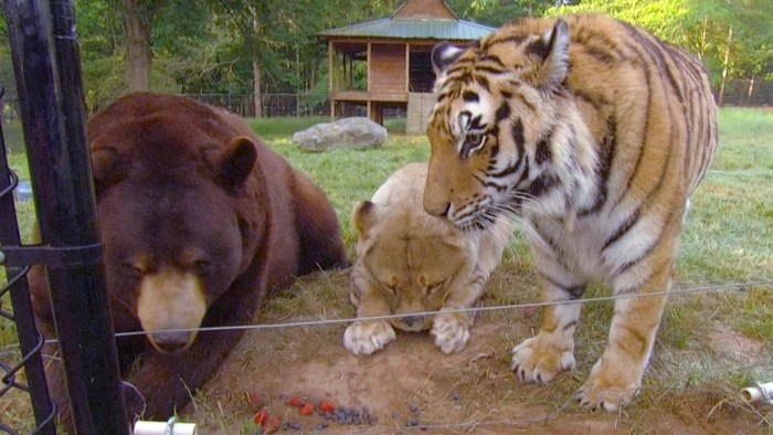 The trio is believed to be the only bear, lion and tiger that live together in the world, according to the manager of animal husbandry at George's Noah's Ark non-profit.