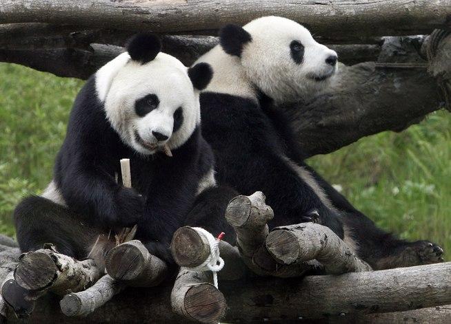 Картинки по запросу Chiang Mai Zoo pandas
