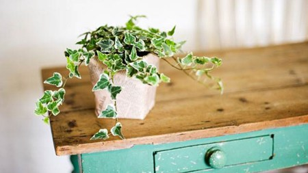 Image result for english ivy house plant