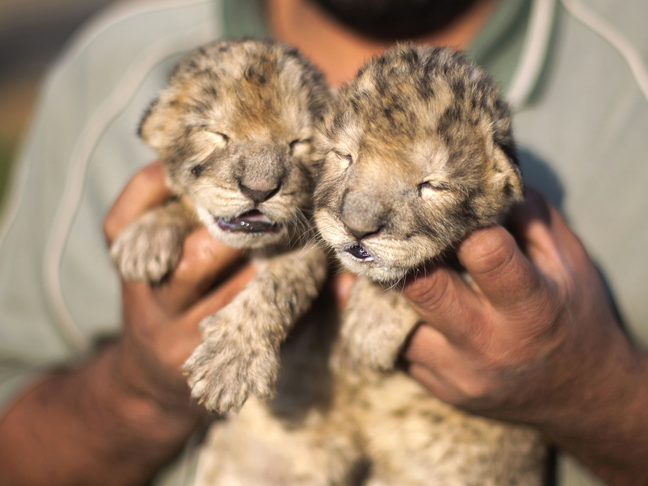 Adorable Twin Lion Cubs Born At Gaza Strip Zoo