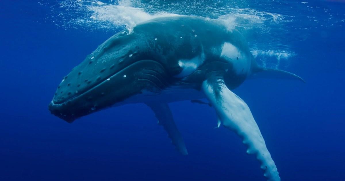 Amazing video as Humpback whale 'mugs' boat -2/27/21