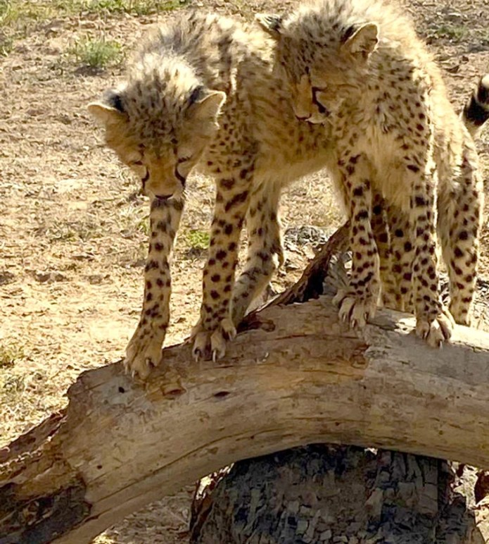 Many stolen cheetahs end up in Middle Eastern countries.