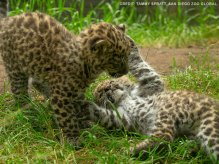 Image result for San Diego Zoo shows off Amur Leopard cubs