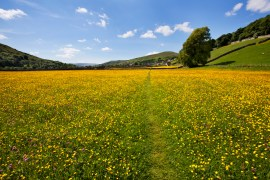 Media Bakery ID: RHD0077410 Path across buttercup meadows at Gunnerside in Swaledale, Yorkshire Dales, Yorkshire, England, United Kingdom, Europe