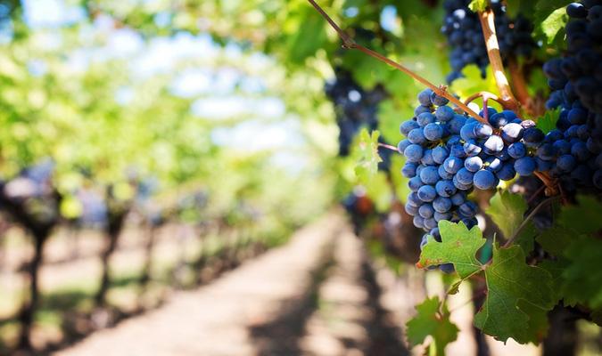 Source: PRNewsFoto/Wine grapes