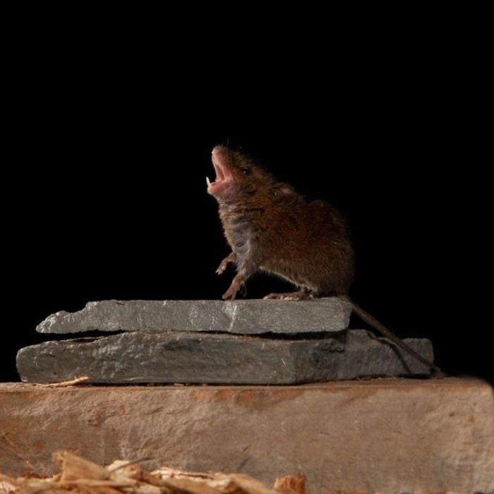NYU Langone Health - Alston's singing mouse (Scotinomys teguina)