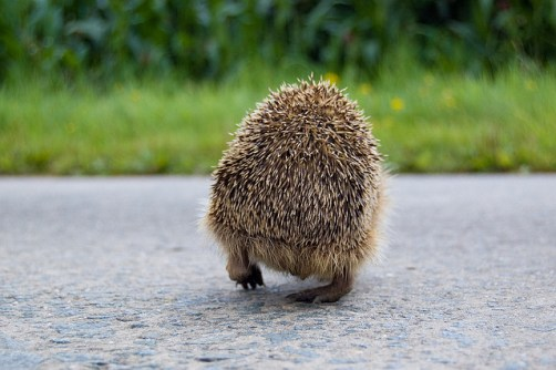 A hedgehog's back