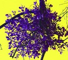 Le gui, parasite des arbres mediaculture.fr