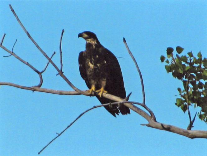 File Photo Courtesy Iowa Eagles Raptor Resource Project