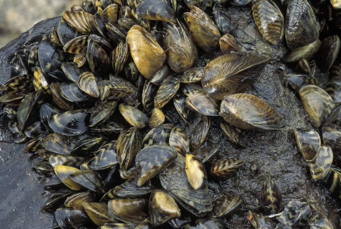 Discover Nature Zebra Mussels