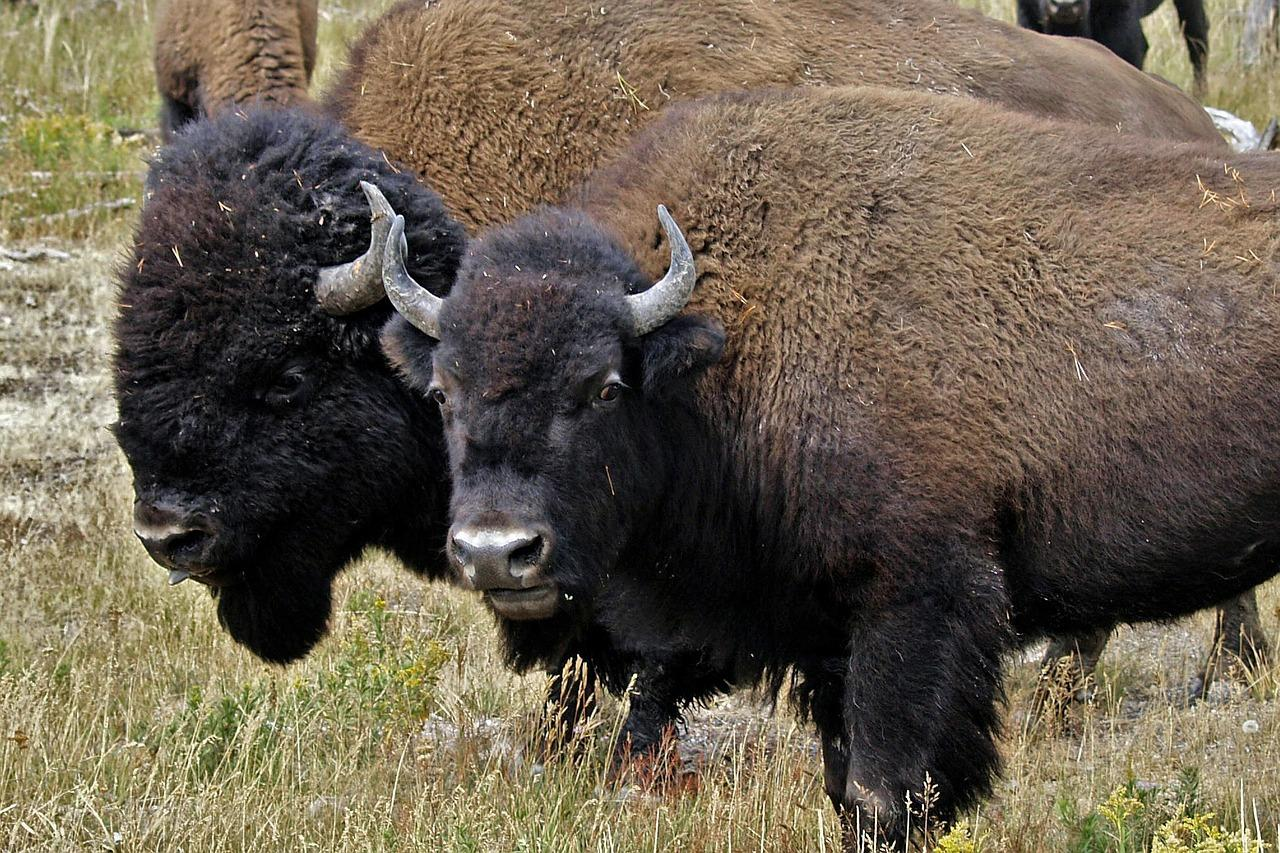 Yellowstone Bison May Get A Little More Room To Roam