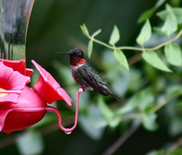 Ruby-throated hummingbirds arriving earlier | Michigan Radio