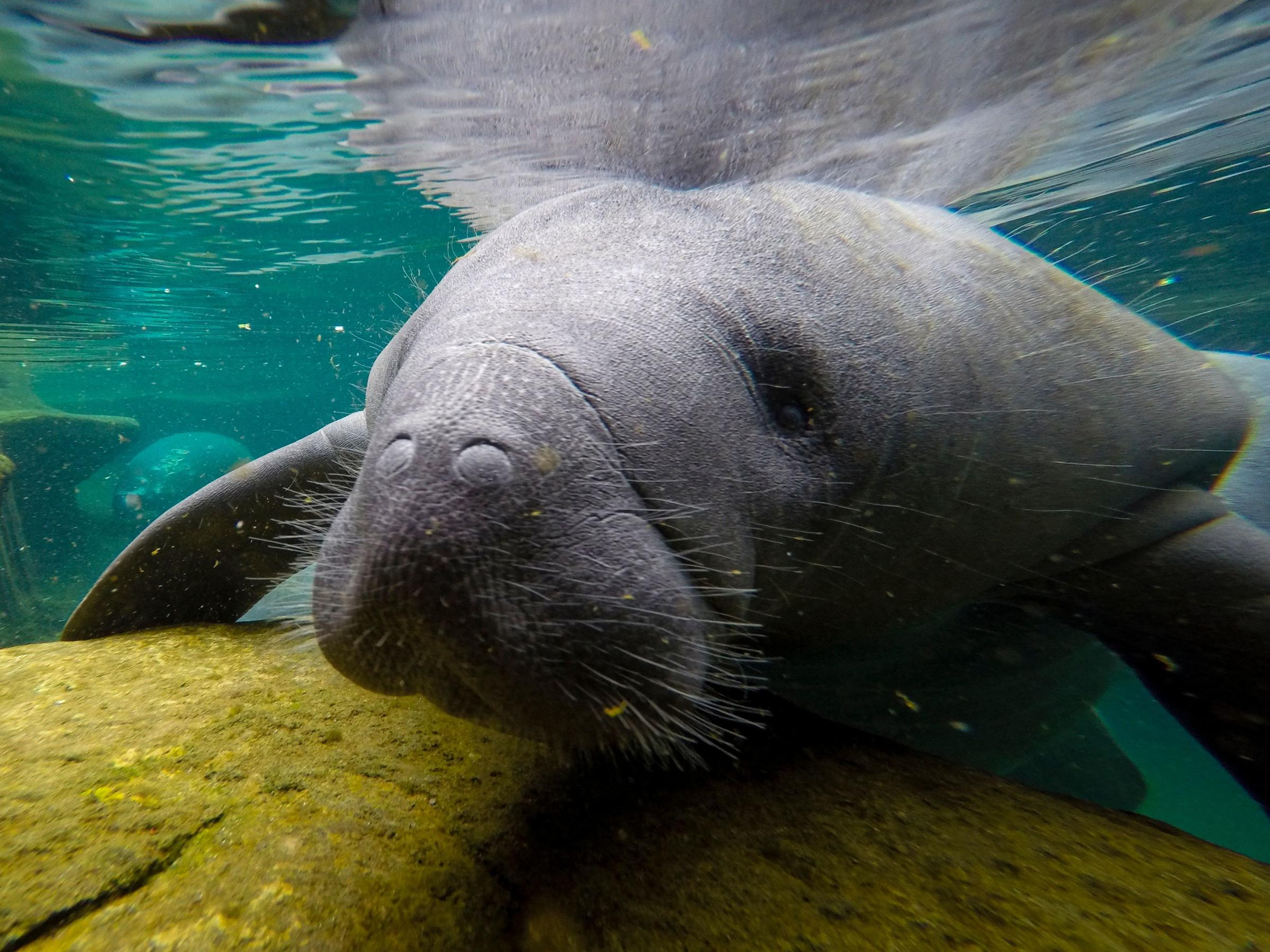 As Seagrass Habitats Decline, Florida Manatees Are Dying Of Starvation