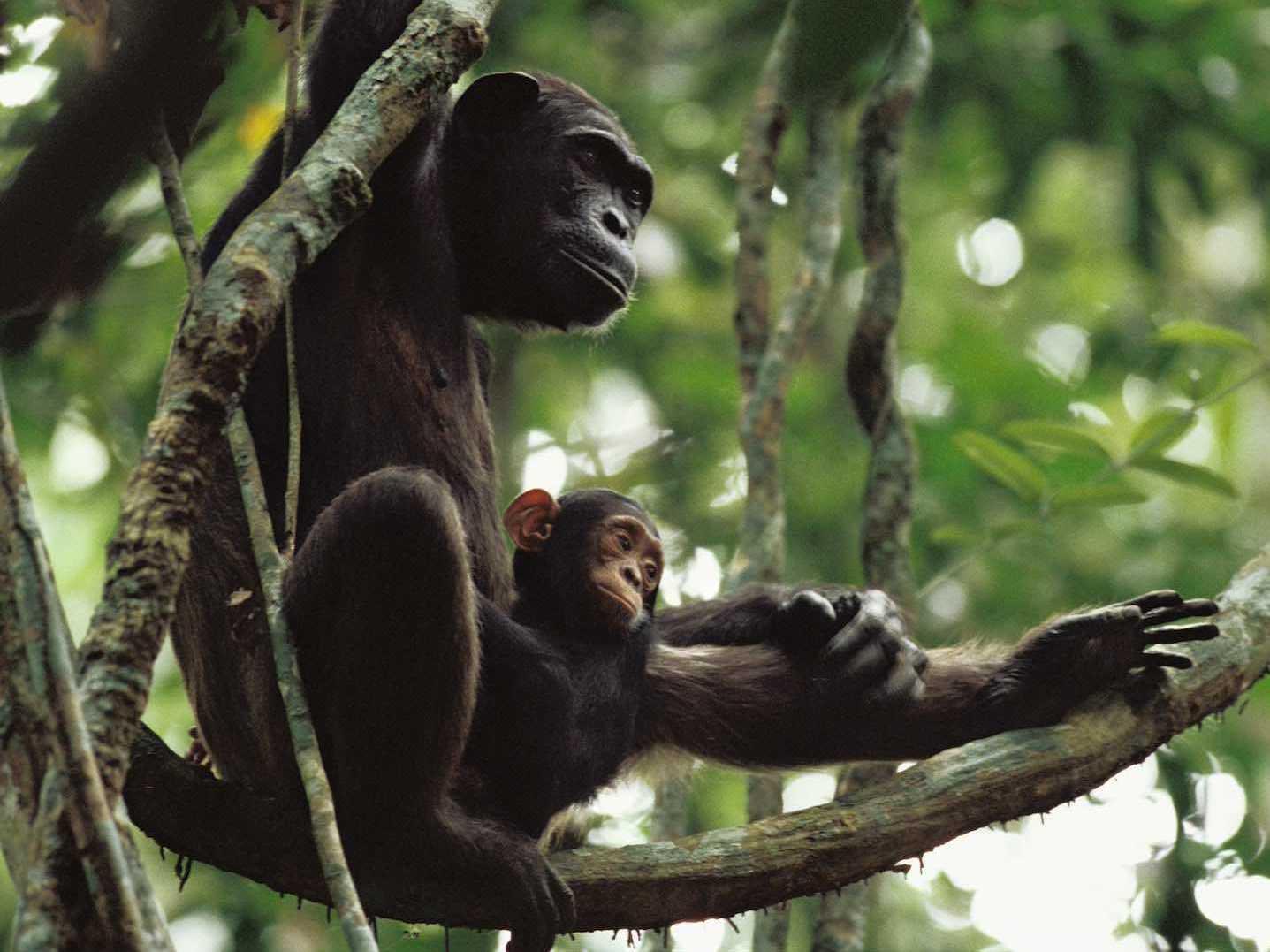 Camera Traps Catch Chimpanzee Moms Teaching Their Children
