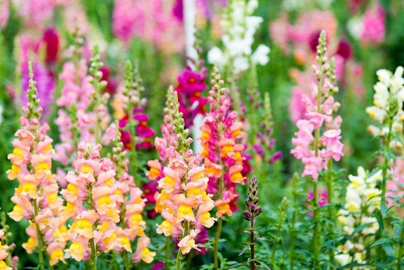Vermont Garden Journal  A Dragon That s Fun And Fragrant   Vermont     The snapdragon is a resilient flower that can be grown in beds or  containers  withstands