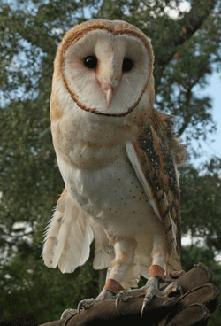 Cory, a barn owl, has a heart shaped face and is a popular Valentine adoptee.