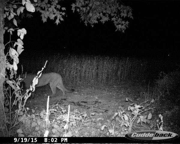 Tennessee 'Cougar Action Team' Confirms Sightings on New ...