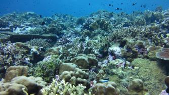 A thriving coral reef community at Hotsarihie, Republic of Palau.