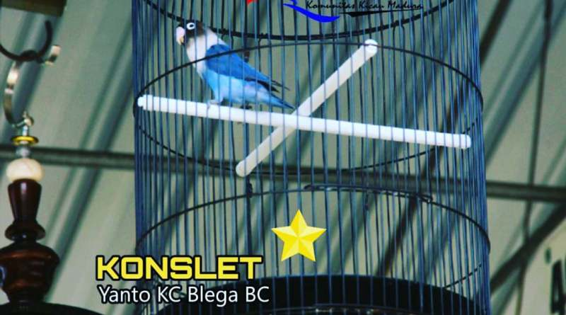 Lovebird Konslet Milik Yanto KC Blega BC Bangkalan