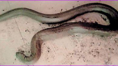 Photo of ചകിരിക്കെട്ടുകള്ക്കിടയില് നിന്ന് അഞ്ചടി നീളമുള്ള കൂറ്റന് ഇരുതല മൂരിയെ പിടികൂടി