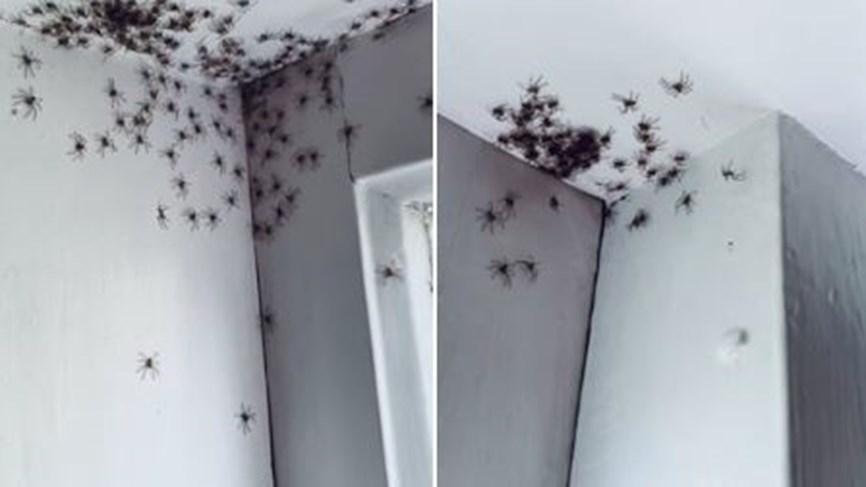مئات العناكب تغزو غرفة طفلة في استراليا