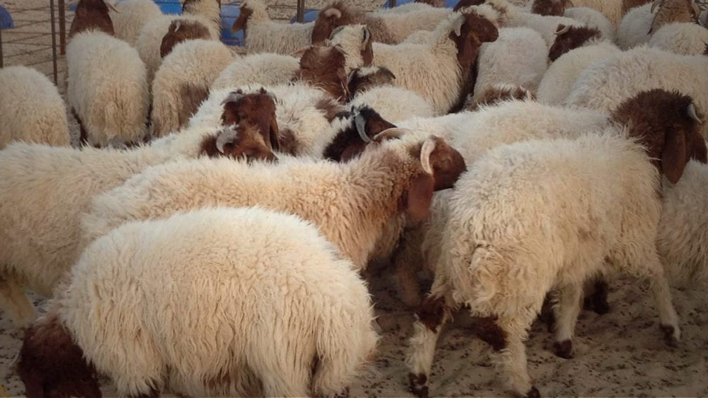 الأردن يحبط تهريب 500 الف حبة مخدرة أُطعمت لمجموعة من الخراف