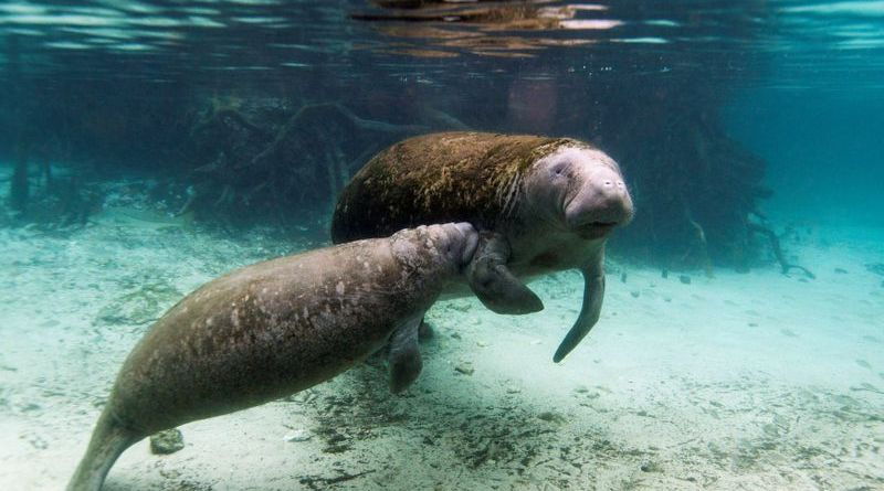 U.S. officials probe abuse of manatee with 'Trump' carved into its back: paper