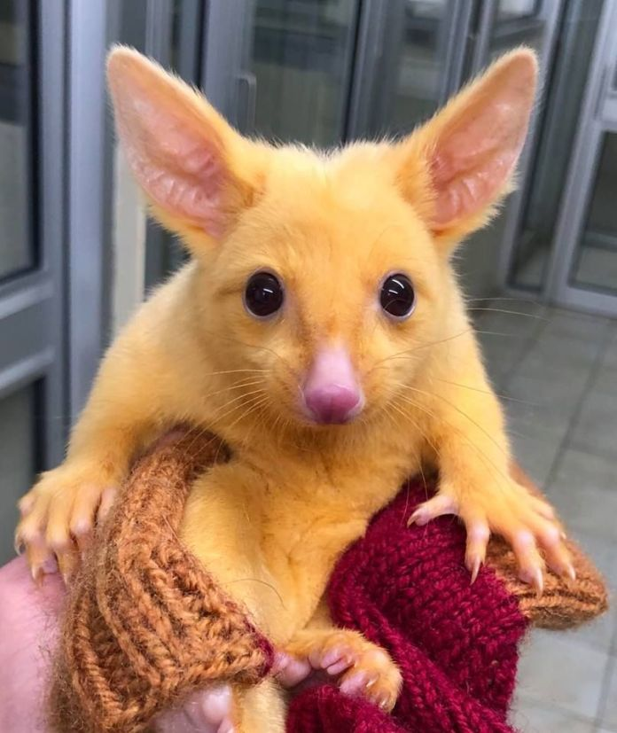 The veterinary clinic in Boronia, Australia, has found an oppossum with a rare mutation that makes it all yellow.