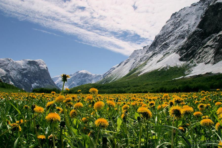 Image  Field of bright dandelion flowers under snow capped mountains     Field of bright dandelion flowers under snow capped mountains