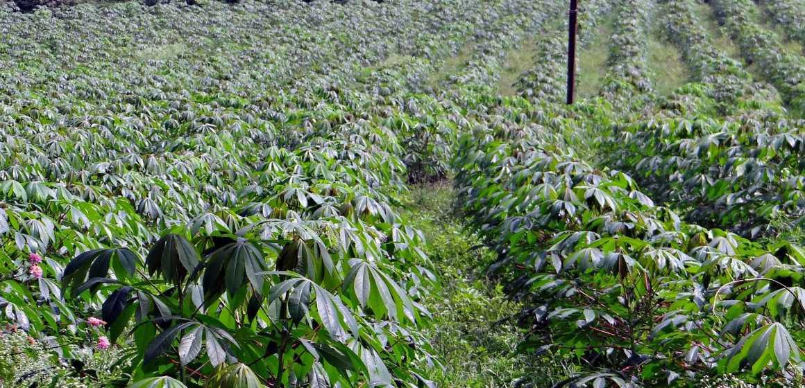 Le manioc gabonais séduit les Chinois de Jinyimeng