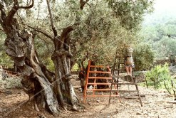 A Man Harvesting an Olive Tree