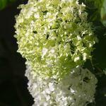 hydrangea-photography-bozeman