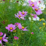 pink-daisies2-photography-bozeman