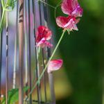 sweet-pea-photography-bozeman